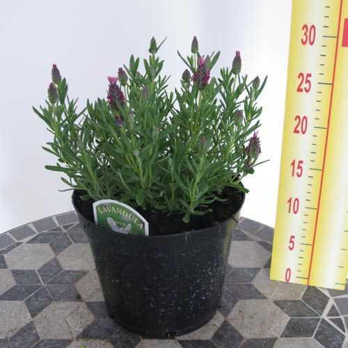Cheap Lavender Kew Red Cheap French Lavender Buy