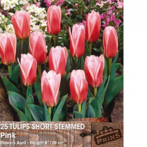 Tulip Bulbs Short Stemmed Pink 25 Per Pack
