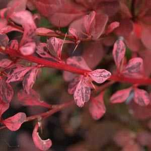 Berberis Thunbergii Harlequin (Barberry Hedging)