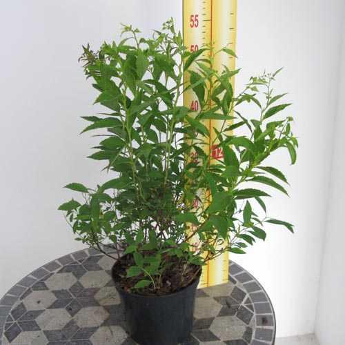 Spiraea Japonica Genpei Shirobana (Japanese Spirea)