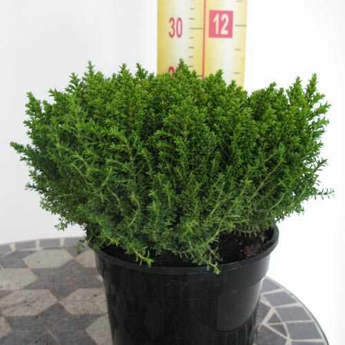 cheap hebe green globe online cheap hebe emerald gem buy hebe green globe evergreen shrubs. Black Bedroom Furniture Sets. Home Design Ideas