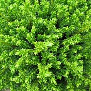 buy cheap hebe plants online online garden centre hebes for sale uk. Black Bedroom Furniture Sets. Home Design Ideas