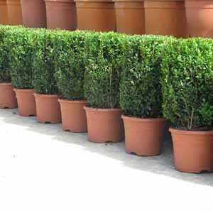 Buxus Sempervirens Cylinder 5 Ltr (Box Hedge)