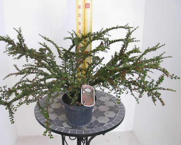 Cotoneaster Horizontalis (Fishbone/Herringbone) 3.6 Ltr