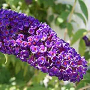 Buddleia (Buddleja) Davidii Black Knight / Butterfly Bush
