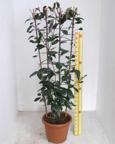 Photinia Red Robin Christmas Berry Trellis Climber 20 Litre Pot