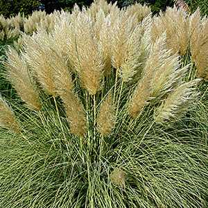 Cortaderia Selloana Gold Mini Pampas