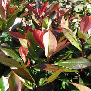 Photinia x Fraseri Little Red Robin (Hedging)