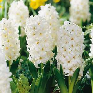 Hyacinth Bedding Bulbs Carnegie 5 Per Pack
