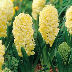 Hyacinth Bedding Bulbs City of Haarlem 5 Per Pack