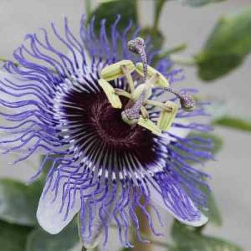 Passiflora 'Purple Haze' Passion Flower