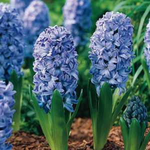 Hyacinth Bedding Bulbs Delft Blue 5 Per Pack