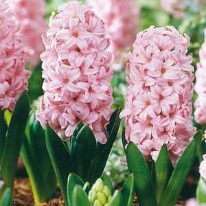 Hyacinth Bedding Bulbs Fondant 5 Per Pack