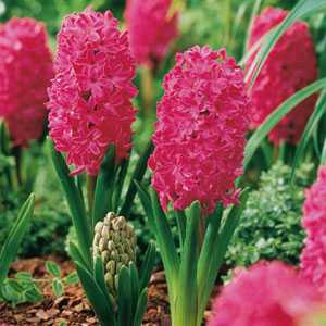 Hyacinth Bedding Bulbs Jan Bos 5 Per Pack