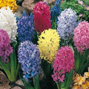 Hyacinth Bedding Bulbs Mixed 5 Per Pack