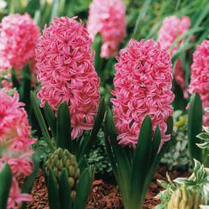 Hyacinth Bedding Bulbs Pink Pearl 5 Per Pack