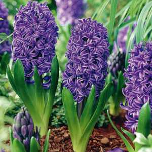 Hyacinth Bedding Bulbs Peter Stuyvesant 5 Per Pack
