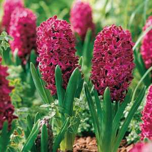 Hyacinth Bedding Bulbs Woodstock 5 Per Pack