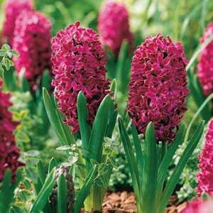 Hyacinth Bedding Bulbs Woodstock 5 Per Pack