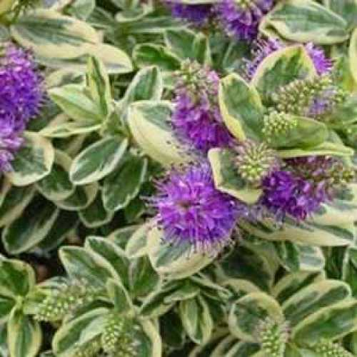 Cheap Hebe Andersonii Online : Variegated Hebe Plants For ...