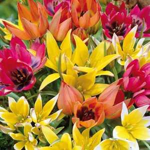 Tulip Bulbs Miniature (Dwarf)  Mixed 20 Per Pack