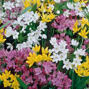 Allium Bulbs Mixed 20 Per Pack
