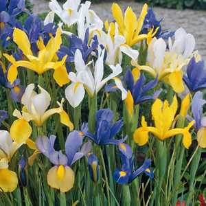 Iris Dutch Iris Bulbs Mixed 40 Per Pack