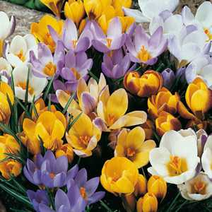Crocus Bulbs Species Chrysanthus Mixed 50 Per Bag