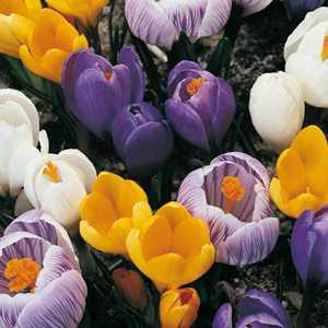 Crocus Vernus Bulbs Mixed 100 Per Bag