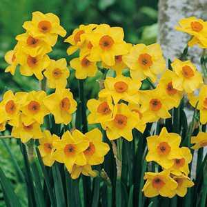 Narcissus Tazetta Hoopoe Bulbs (Daffodil) 25 Per Pack