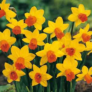 Narcissus Cyclamineus Bulbs Jetfire (Daffodil) 50 Per Pack