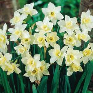 Narcissus Jonquilla Bulbs Pueblo (Daffodil) 25 Per Pack