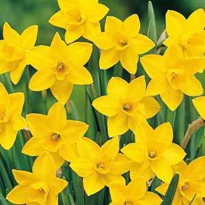 Narcissus Jonquilla Bulbs Sweetness (Daffodil) 25 Per Pack