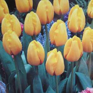 Tulip Bulbs Darwin Hybrid Yellow 25 Per Pack