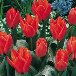 Tulip Bulbs Short Stemmed Red 25 Per Pack
