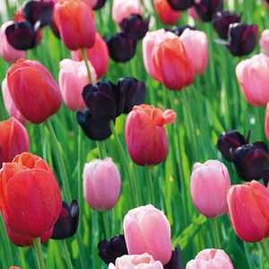 Tulip Bulbs Single Late Artistic Impression 25 Per Pack