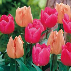 Tulip Bulbs Triumph Sweet Cocktail (Mixed Apricot & Pink) 25 Per Pack