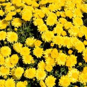 Chrysanthemum Hardy Sunny Igloo (Dendranthema) 3Ltr
