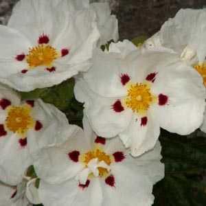 Cistus Alan Fradd (Rock Rose)