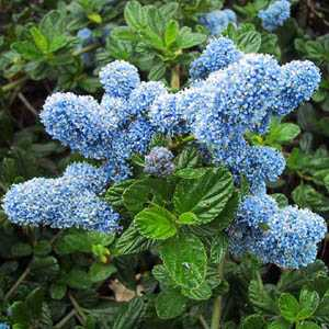 Ceanothus Yankee Point (Californian Lilac) 3Ltr
