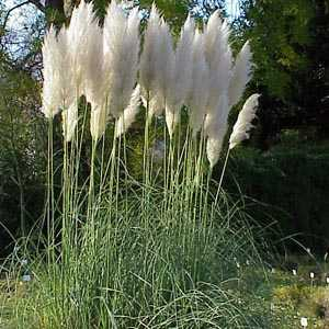 Cortaderia Selloana Pampas Grass