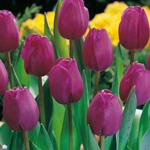 Tulip Bulbs Triumph Blue 25 Per Pack