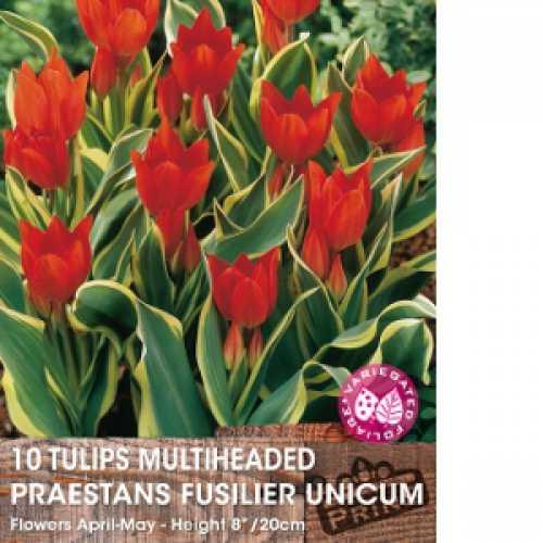 Tulip Bulbs Multiheaded Praestans Fusilier Unicum 10 Per Pack