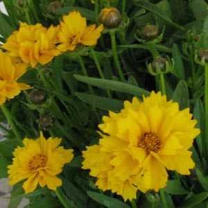 Coreopsis Grandiflora 'Berwode' 3 Ltr