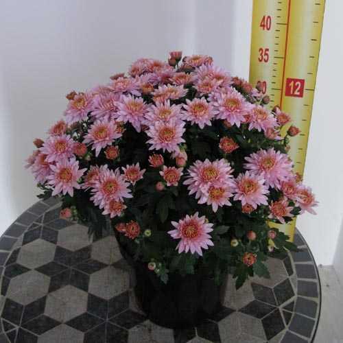 Chrysanthemum Pink/Lilac Hardy 3Ltr