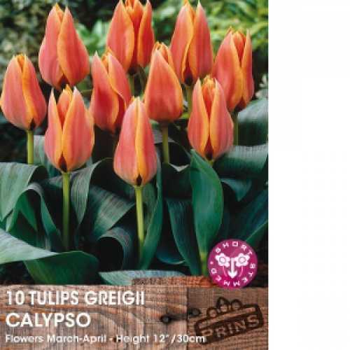 Tulip Bulbs Greigii Calypso 10 Per Pack