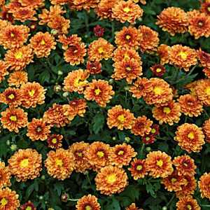 Chrysanthemum Orange Hardy 3ltr