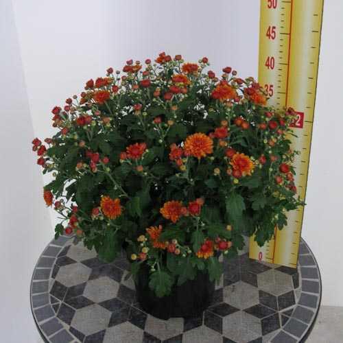 Chrysanthemum Orange Hardy