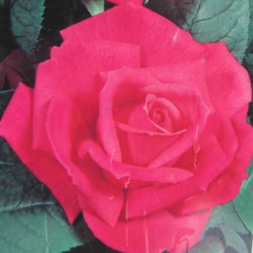 Prima Ballerina Hybrid Tea Rose