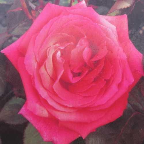 Fragrant Cloud (Tanellis) Hybrid Tea Rose